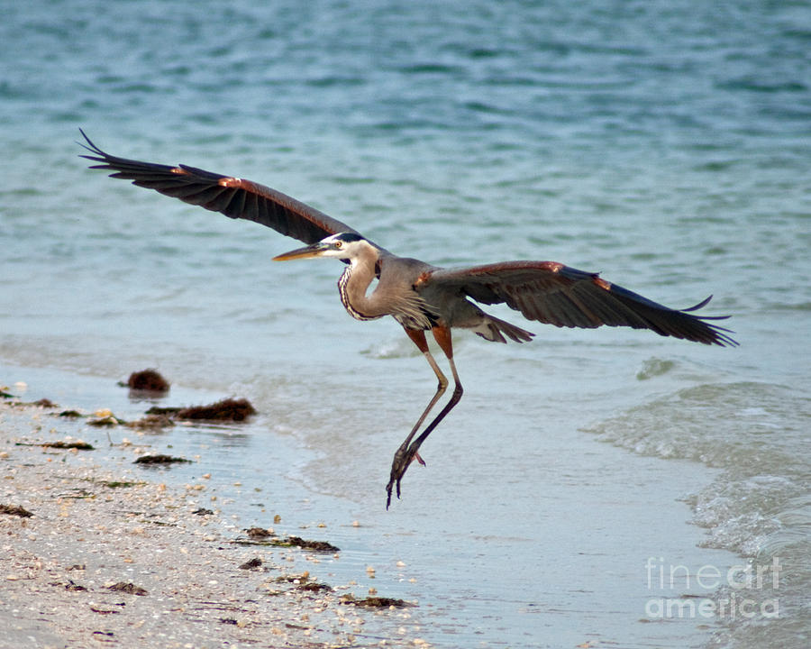 Birds Photograph - Coming In For A Landing  by Steve Whalen