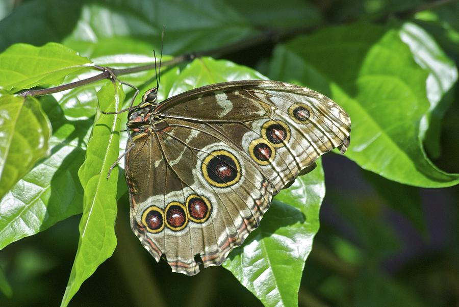 Animal Photograph - Common Blue Morpho 2917 by Michael Peychich
