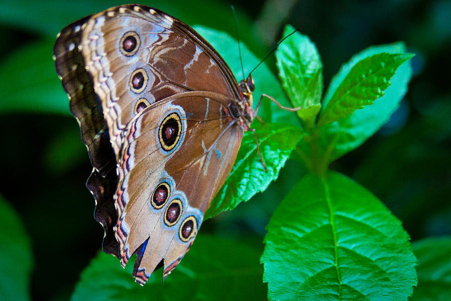 Butterfly Photograph - Common Blue Morpho Butterfly by David Patterson
