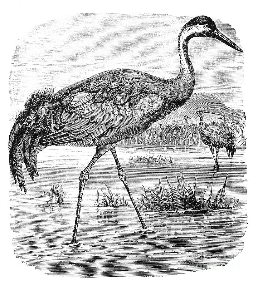 Biology Photograph - Common Crane by Granger
