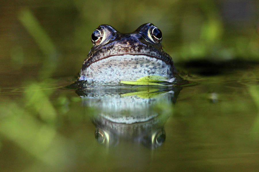Horizontal Photograph - Common Frog In Pond by Iain Lawrie