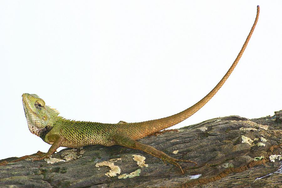 goa photograph common garden lizard by sydney alvares - Garden Lizard