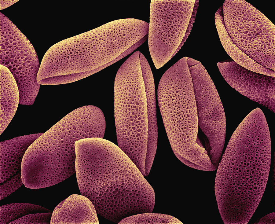 Mp Photograph - Common Hyacinth Pollen Sem At 700x by Albert Lleal