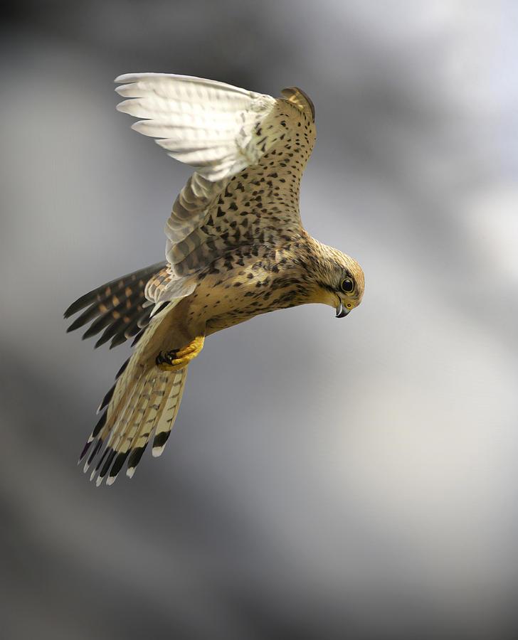 Falco Tinnunculus Photograph - Common Kestrel Hunting by Linda Wright