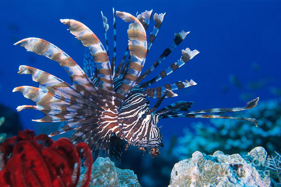 Fish Photograph - Common Lionfish by Franco Banfi and Photo Researchers