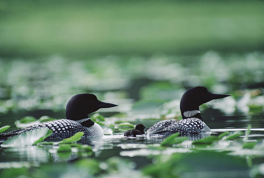 Mp Photograph - Common Loon Gavia Immer Mated Couple by Michael Quinton