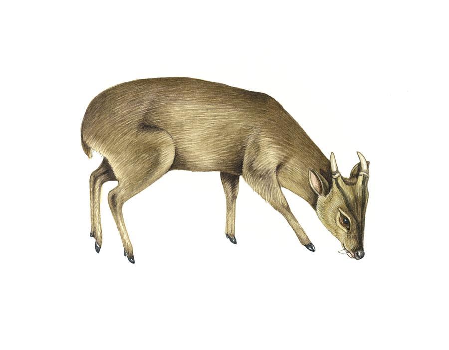 Muntiacus Muntjak Photograph - Common Muntjac Deer, Artwork by Lizzie Harper