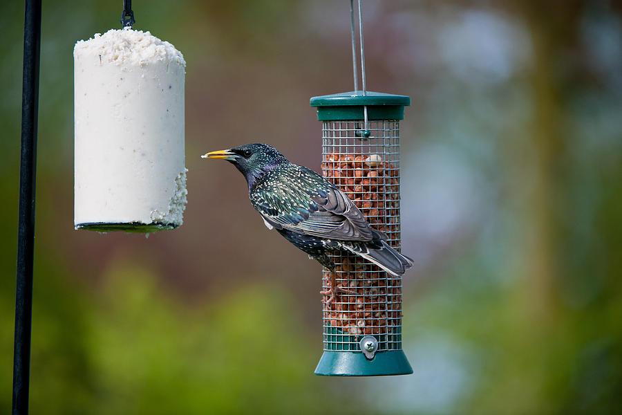 Horizontal Photograph - Common Starling Sturnus Vulgaris On Bird Feeder by Mike Powles