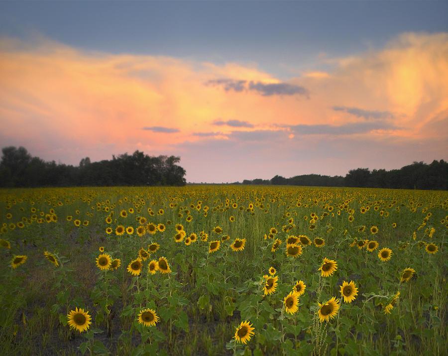 Common Sunflower Field Near Flint Hills Photograph by Tim Fitzharris