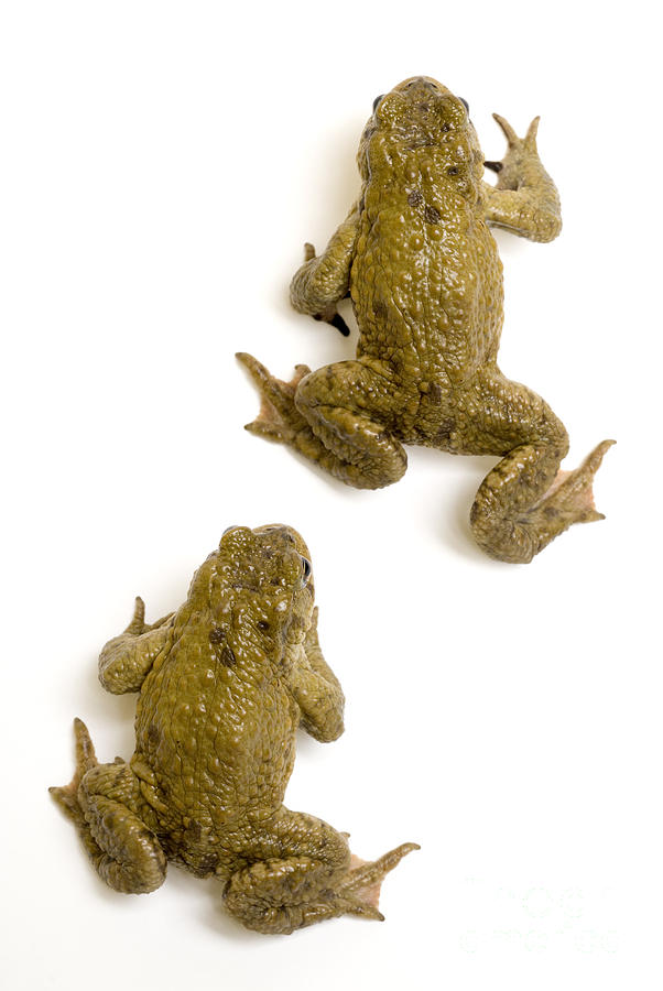 Common Toad Photograph - Common Toad by Mark Bowler and Photo Researchers