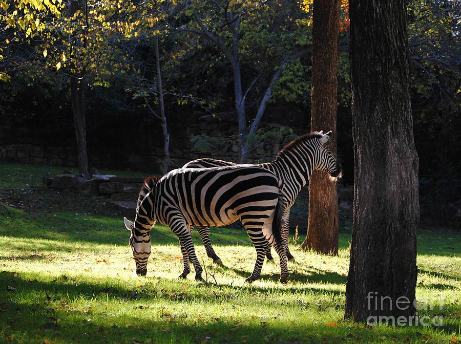 Zebra Photograph - Common Zebras by DiDi Higginbotham