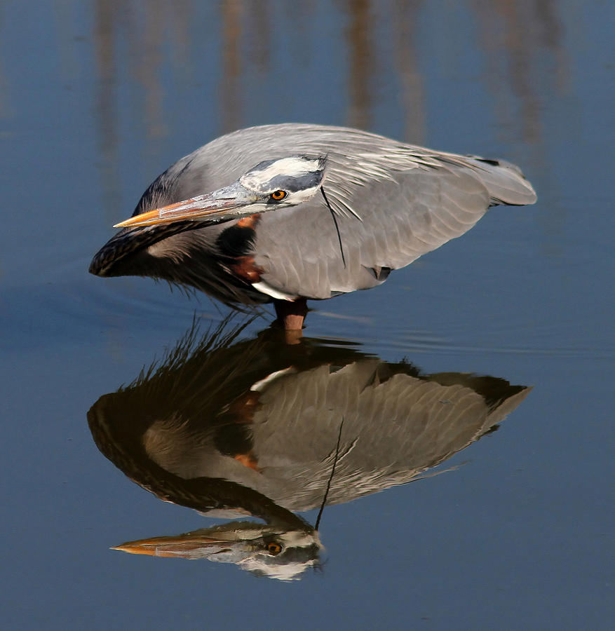 Great Blue Heron Photograph - Concentration by Phil Lanoue