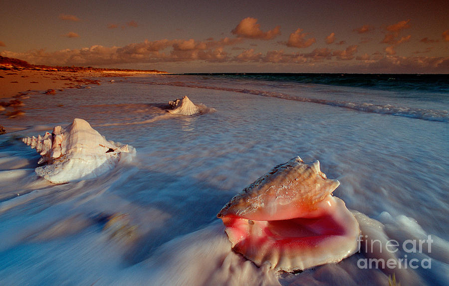 Ashore Photograph - Conch Shell On Beach by Novastock and Photo Researchers