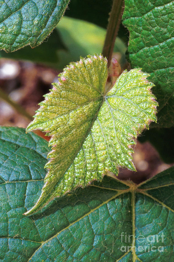 Vitis Labrusca Photograph - Concord Grape Plant by Science Source
