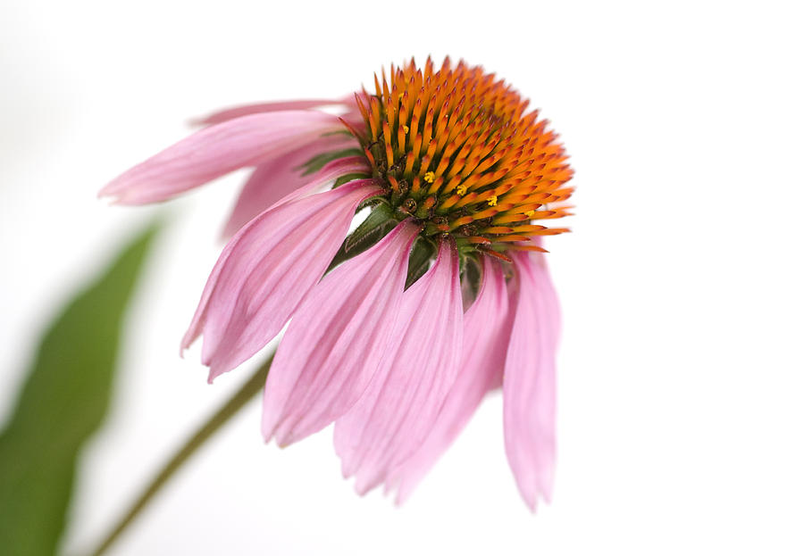 Flower Photograph - Cone Flower by Jessica Wakefield