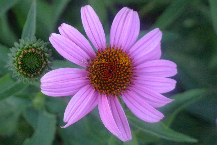 Flower Photograph - Cone Flower by Linda Pope