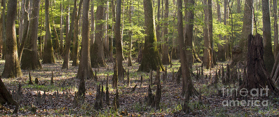 Congaree National Park Photograph - Congaree National Park  by Dustin K Ryan