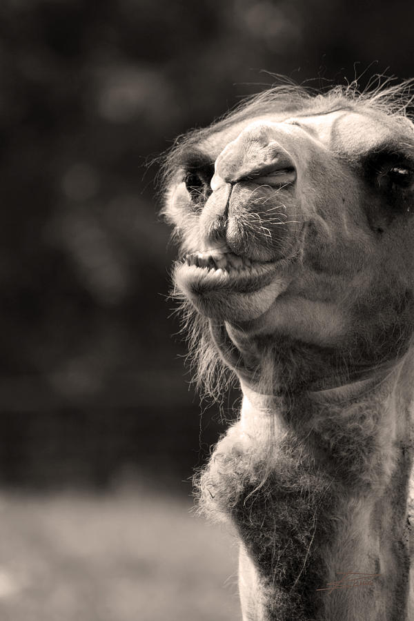 Animals Photograph - Connoisseur Of Fine Humps by Barbara  White