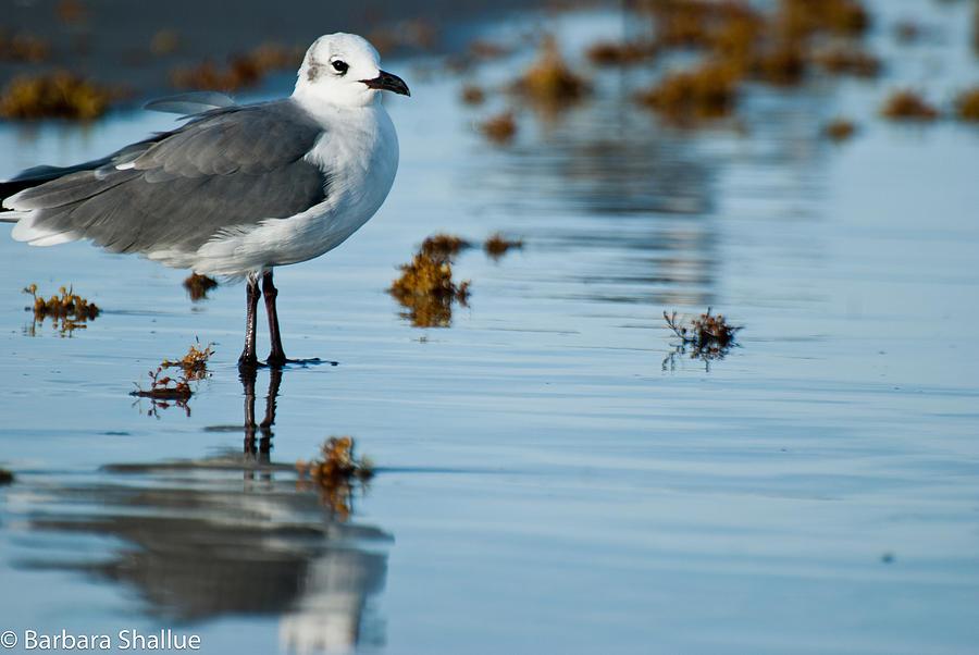 Seagull Photograph - Contemplative by Barbara Shallue