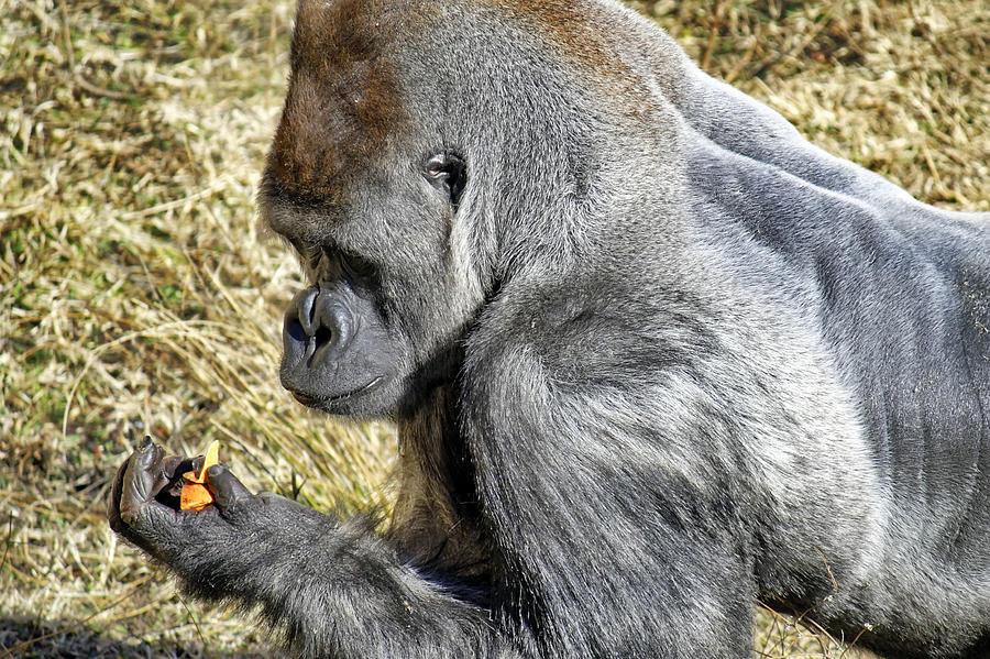 Ape Photograph - Contemplative by Jason Politte