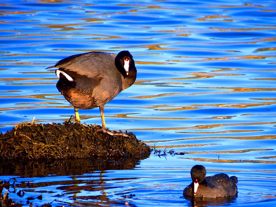 Photo Photograph - Coots by Catherine Natalia  Roche