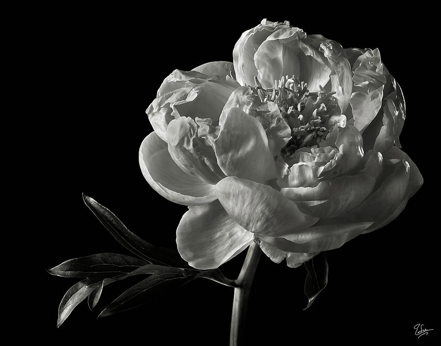 Coral Peony In Black And White Photograph By Endre Balogh