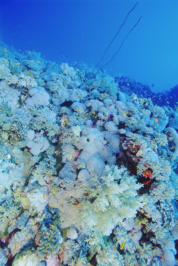 Fish Photograph - Coral Reef by Alexis Rosenfeld
