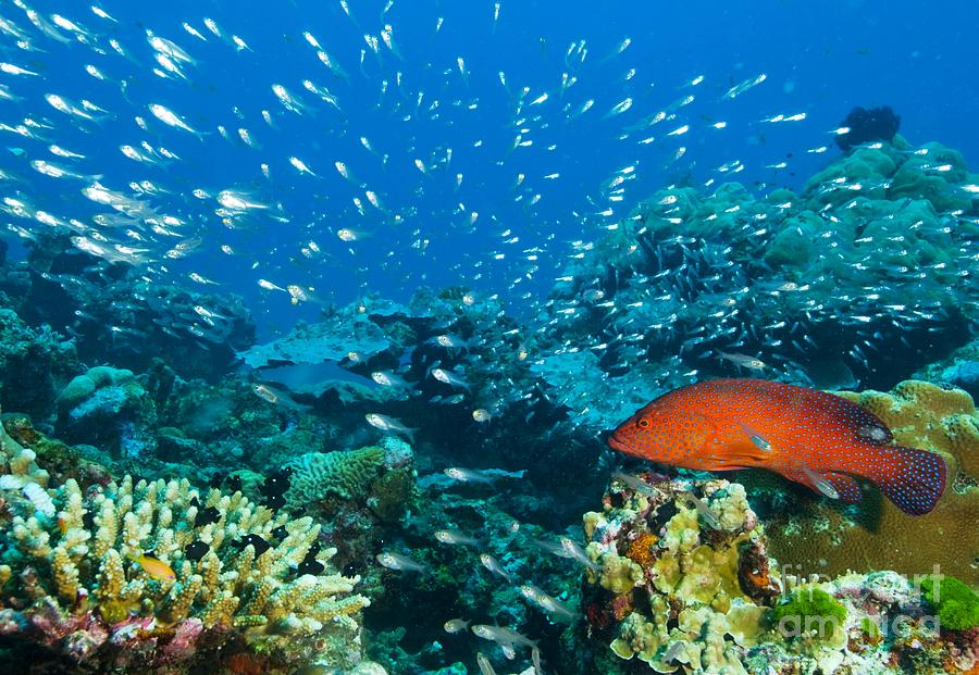 Peacock Grouper Photograph - Coral Reef In Thailand by Louise Murray and Photo Researchers