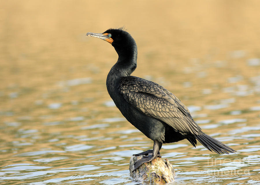Cormorant At Sunset Photograph by Inspired Nature Photography Fine Art Photography