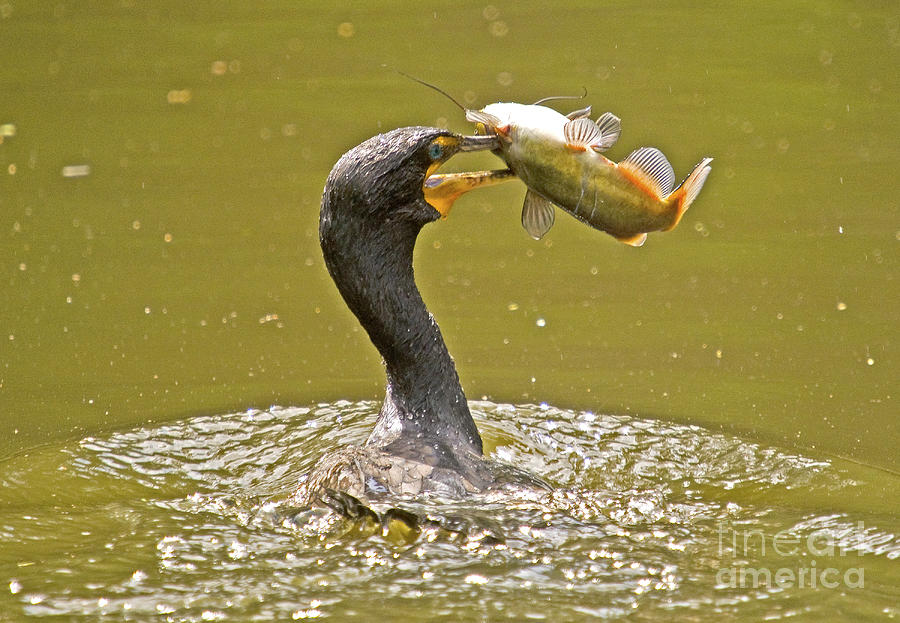 Cormorant catches big fish photograph by tj baccari for Big fish facebook