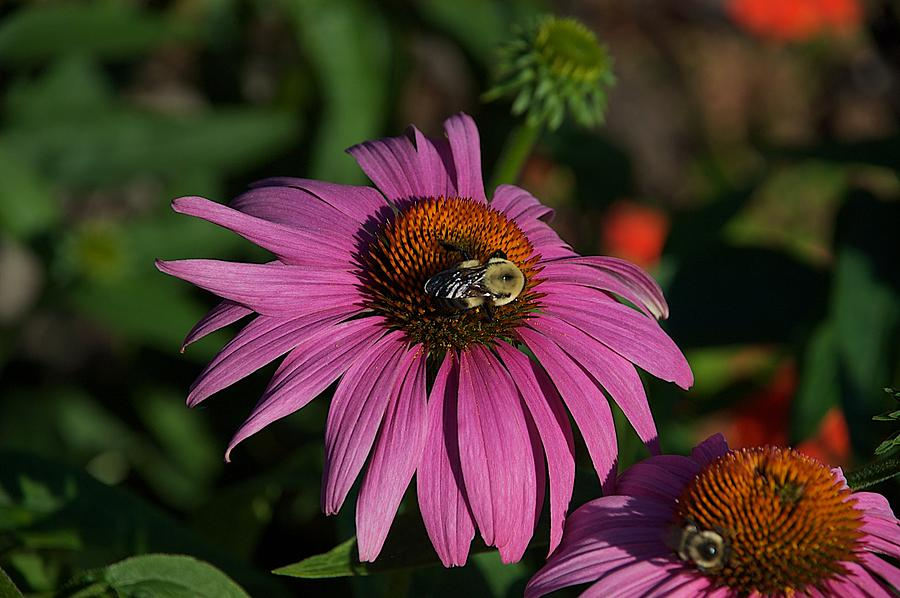 Bumble Bee Photograph - Corn Flower by Joseph Yarbrough