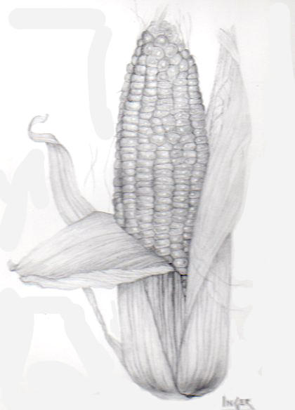 Corn On The Cob Drawing - Corn On The Cob by Inger Hutton