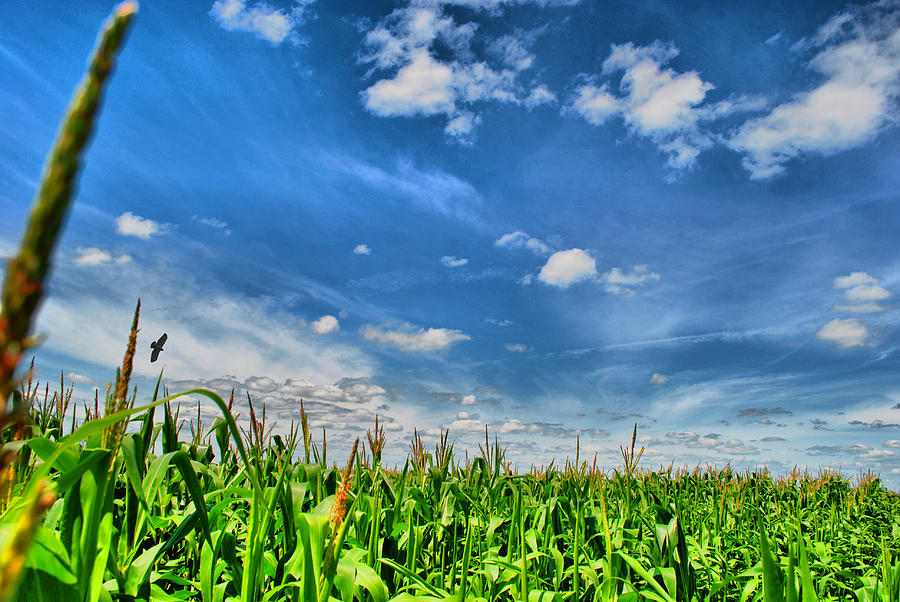 Cornfield Photograph - Corn Top Sky by Emily Stauring