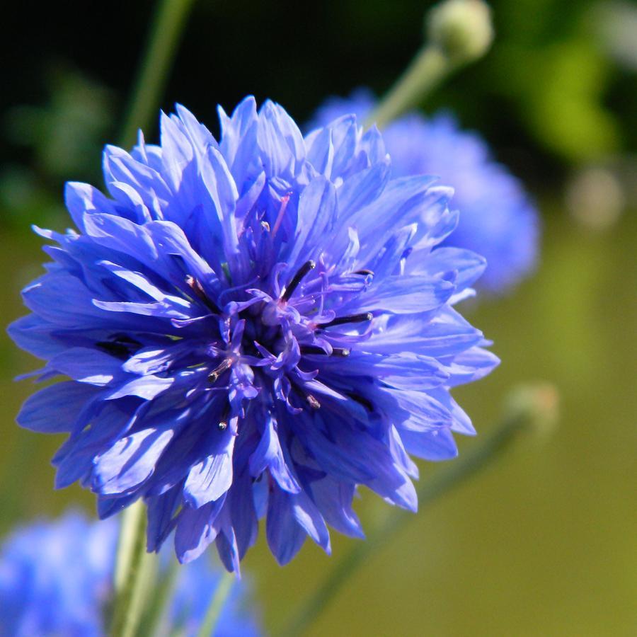 Cornflower Photograph - Cornflower Blue by Sharon Lisa Clarke
