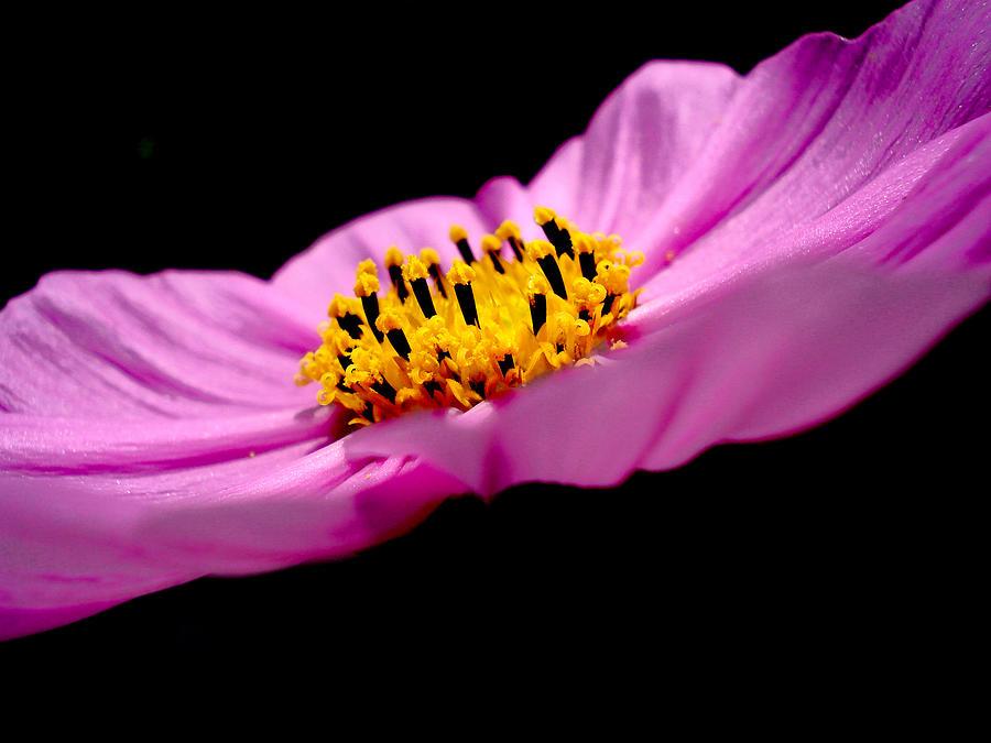 Flower Pyrography - Cosmia Flower by Sumit Mehndiratta