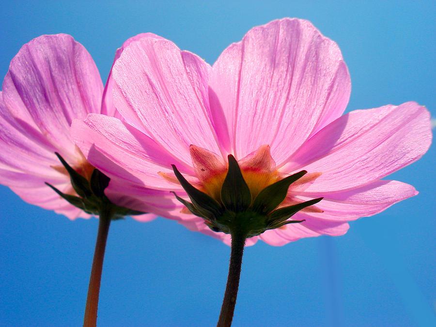 Flower Photograph - Cosmia Flowers Pair by Sumit Mehndiratta