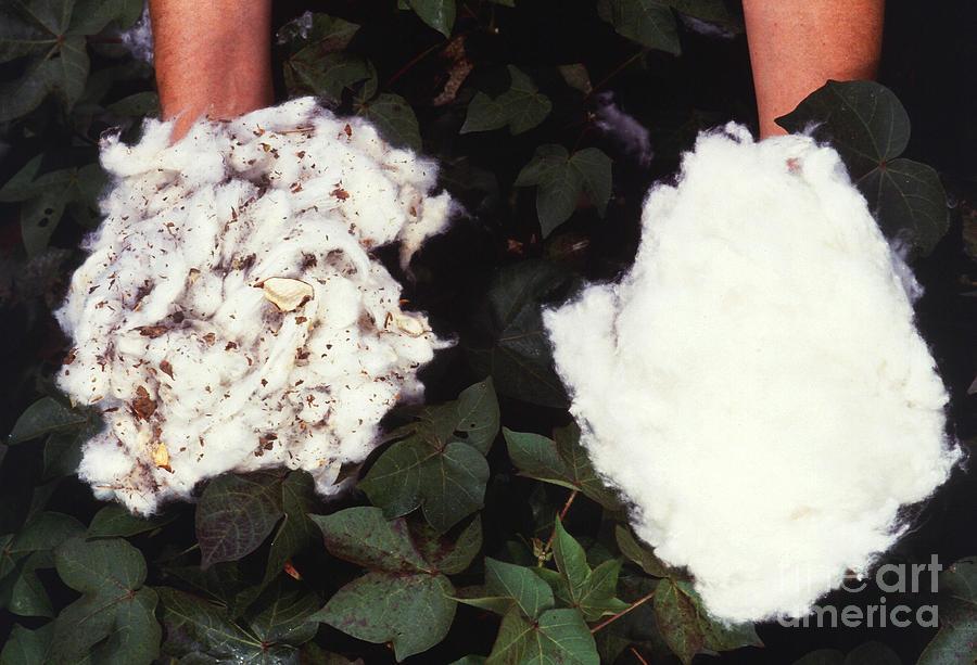 Cotton Photograph - Cotton Comparison by Photo Researchers