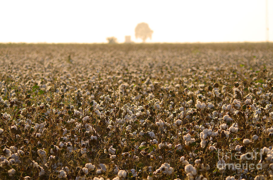 Spain Photograph - Cotton Field Donana Spain by Perry Van Munster