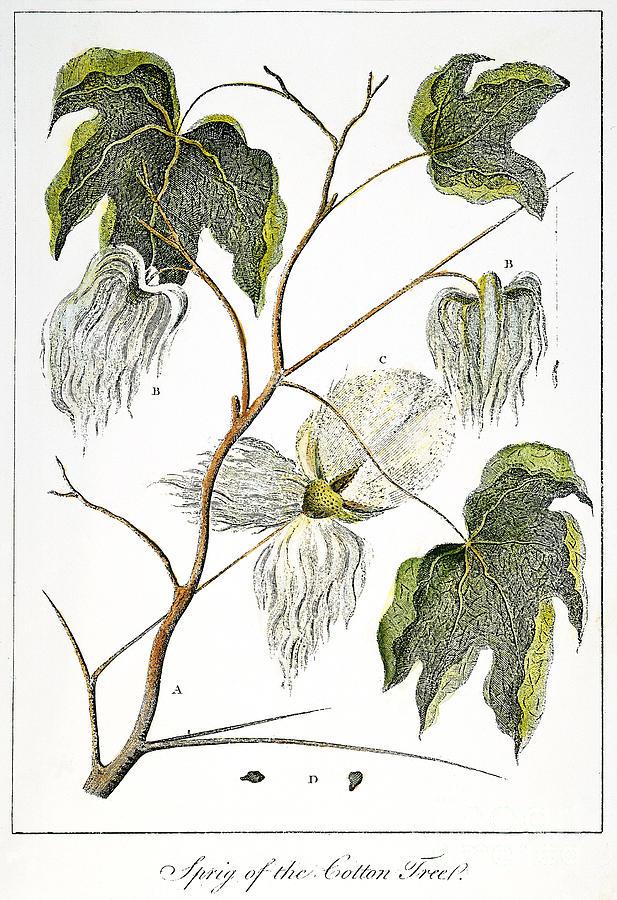 1796 Photograph - Cotton Plant, 1796 by Granger