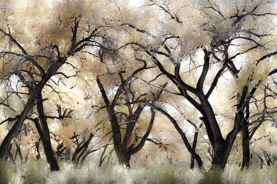 Cottonwood Photograph - Cottonwood Trees by Denice Breaux
