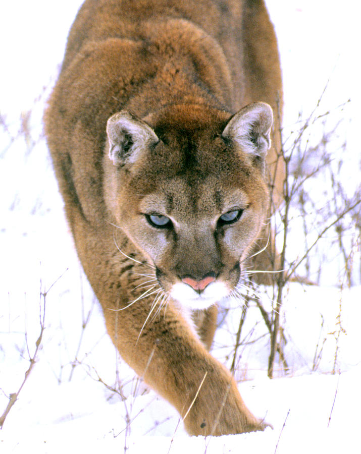 Stalking Cougar Photograph By Donna Proctor