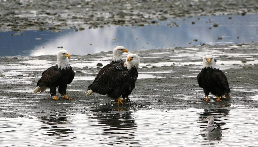 Bald Eagles Digital Art - Council by Carrie OBrien Sibley