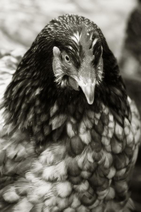 Bird Photograph - Country Chicken 5 by Scott Hovind