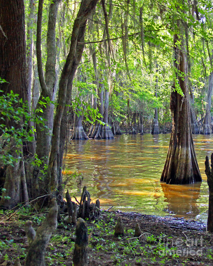 Nature Photograph - Cove At Caddo Lake by Gayle Johnson