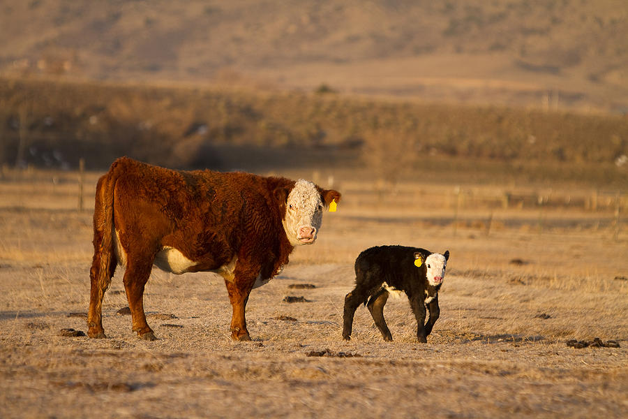 Cow And Calf Photograph