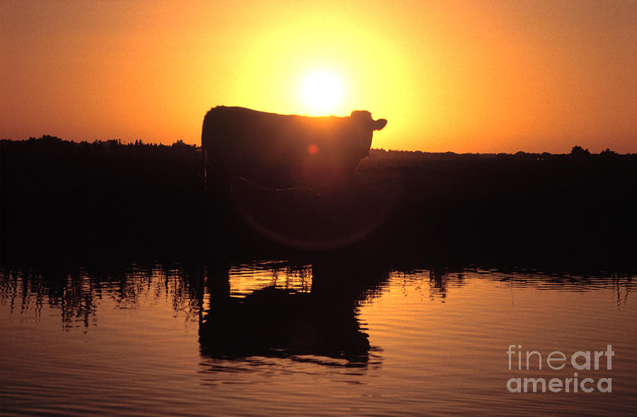 Cow Photograph - Cow At Sundown by Picture Partners and Photo Researchers