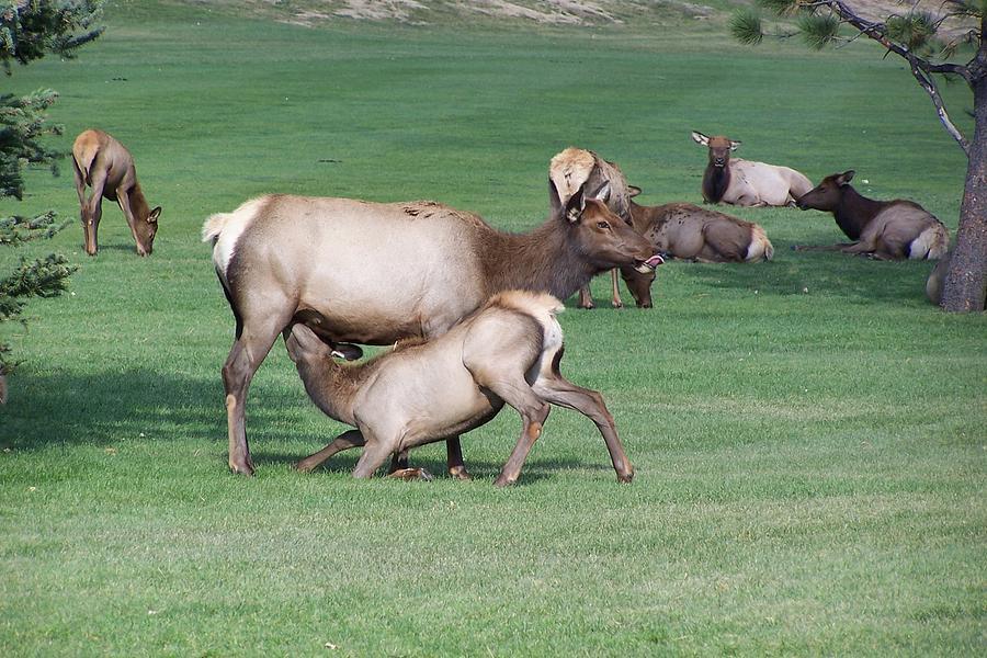 Cow Elk Photograph - Cow Elk Feeding Calf by Richard Adams