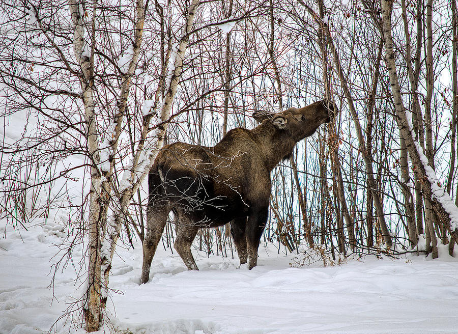 Cow Moose Winter Feeding Photograph by Thomas Payer