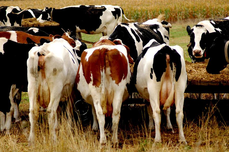 Cow Tails In Wisconsin Photograph by LeeAnn McLaneGoetz