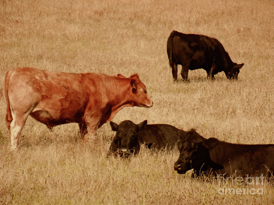 Cows Photograph - Cows by Methune Hively